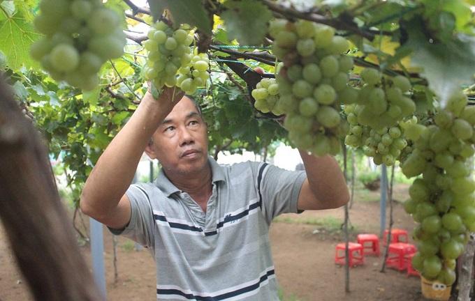 Ông Bảy Thiết chăm sóc nho tại vườn nho Thạnh Phú