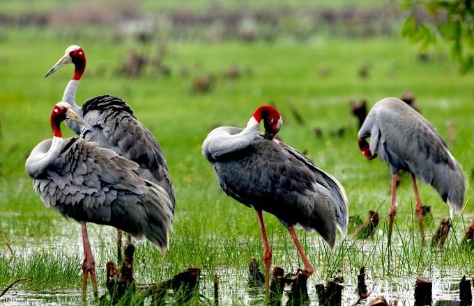 Đàn Sếu đầu đỏ tại khu du lịch Tràm Chim