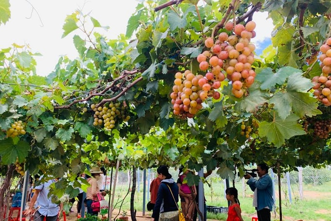 Du khách tham quan và chụp ảnh tại vườn nho Thạnh Phú
