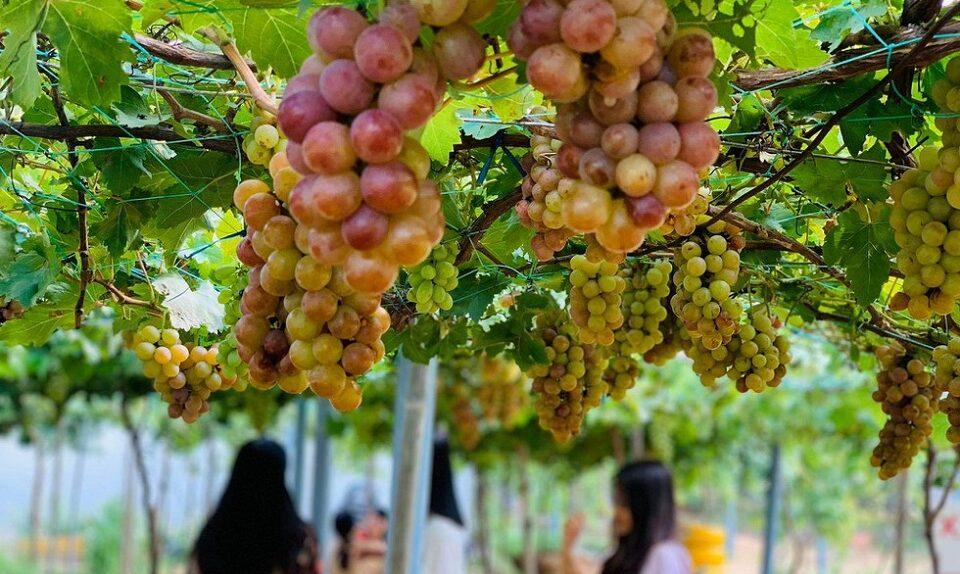 Khám phá vườn nho Bảy Thiết ở Thạnh Phú - Bến Tre