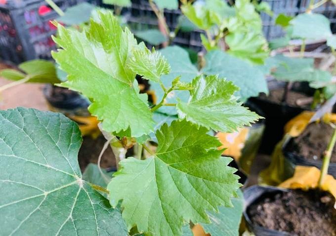 Vườn nho Bảy Thiết chuyên cung cấp các loại nho giống: nho đỏ, nho xanh, nho móng tay,..