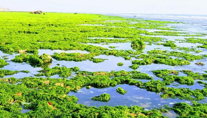 Cánh đồng rong biển trải dài trên rạn san hô gần 4km