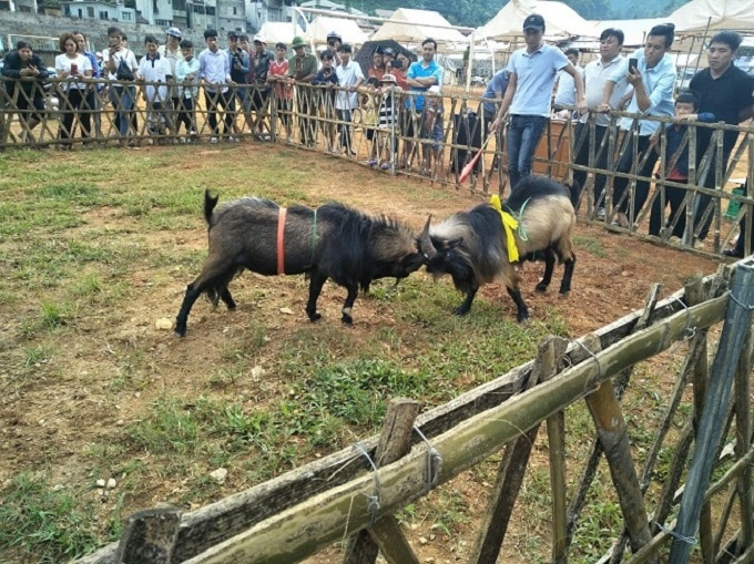 Hội thi chọi dê ở huyện Mù Cang Chải, tỉnh Yên Bái