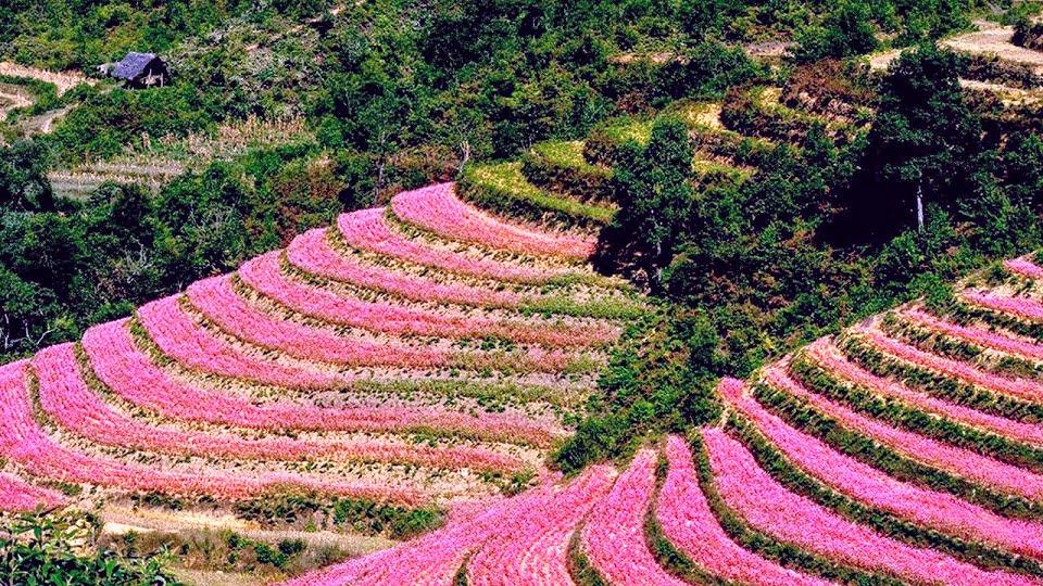 Lễ hội hoa tam giác mạch Hà Giang lần thứ VI năm 2020