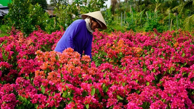 Bông giấy được trồng tại Làng Hoa Chợ Lách Bến Tre phục vụ Tết Nguyên đán Tân Sửu 2021