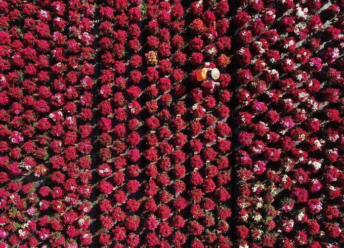 Làng hoa giấy Phú Sơn là nơi có quy mô trồng hoa giấy lớn nhất huyện Chợ Lách