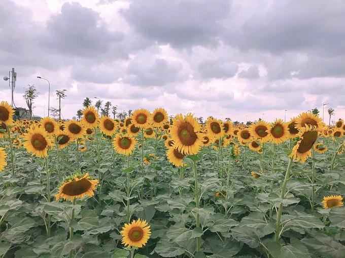 Vườn hoa hướng dương khu đô thị Vạn Phúc Thủ Đức