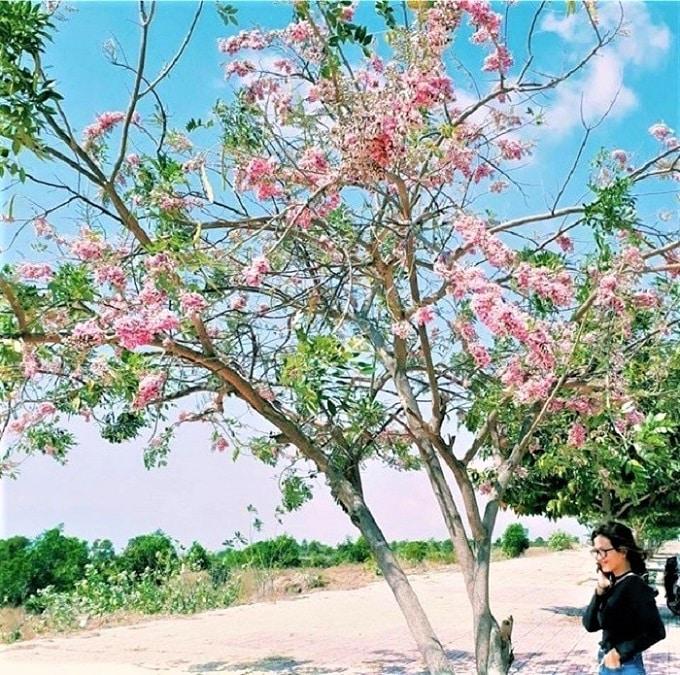 Hoa Đỗ Mai nở cũng vào mùa nở rộ trên những con đường quanh công viên