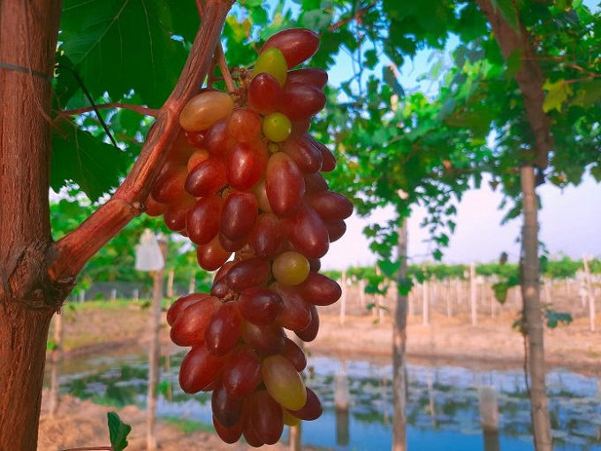 Hiện tại, Vườn nho Ba Tuấn đang có khoảng hơn 1000 gốc nho đang trong thời gian cho trái