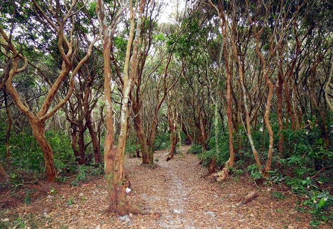 Rừng trâm hàng trăm năm tuổi tại đảo Minh Châu