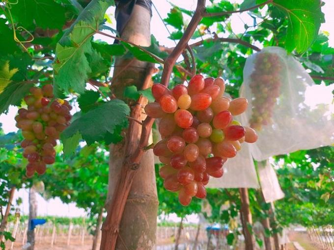 Vườn nho ở Đồng Tháp là mô hình canh tác nông nghiệp kết hợp điểm tham quan du lịch