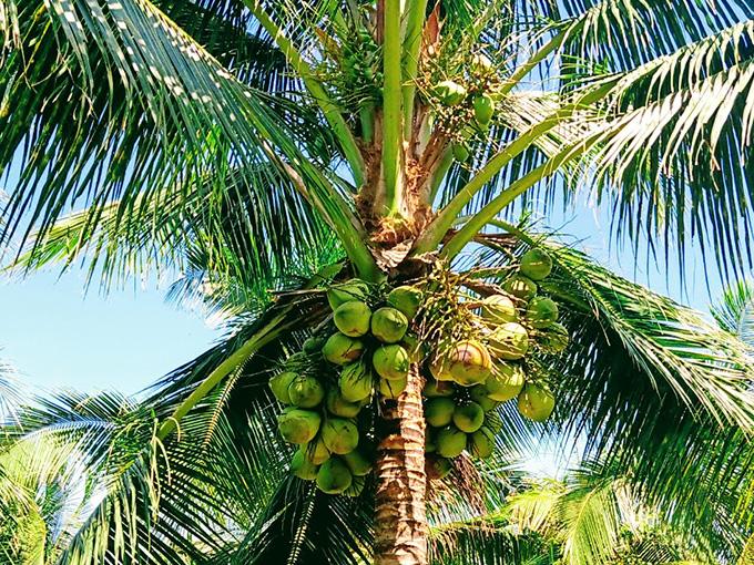 Cây dừa sáp về hình dáng cũng giống những cây dừa bình thường, chỉ khác nhau phần cơm dừa khi trái già sẽ dày hơn và thơm ngon hơn