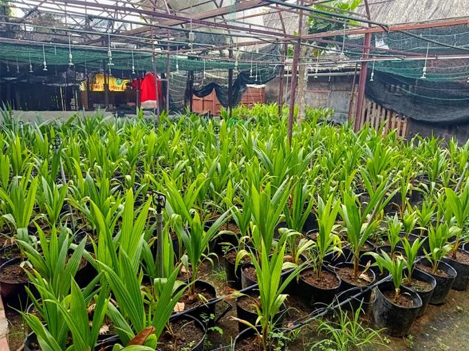 Mua / bán giống dừa sáp Trà Vinh - Tỷ lệ sáp lên đến 99%